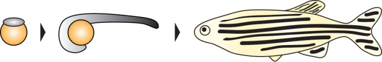 cartoon fish development