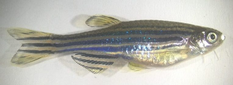 cropped-photo_zebrafish1.jpg